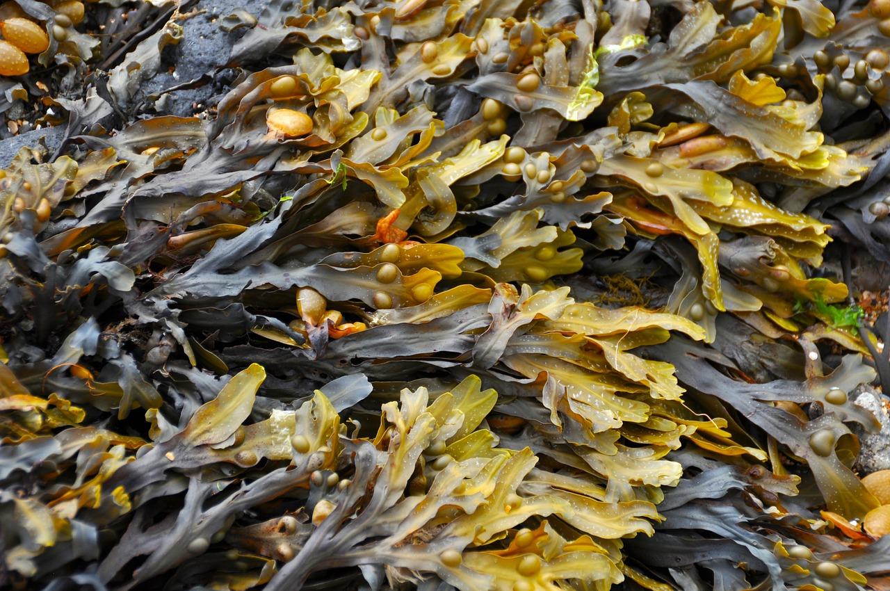 Les algues, une ressource multiple