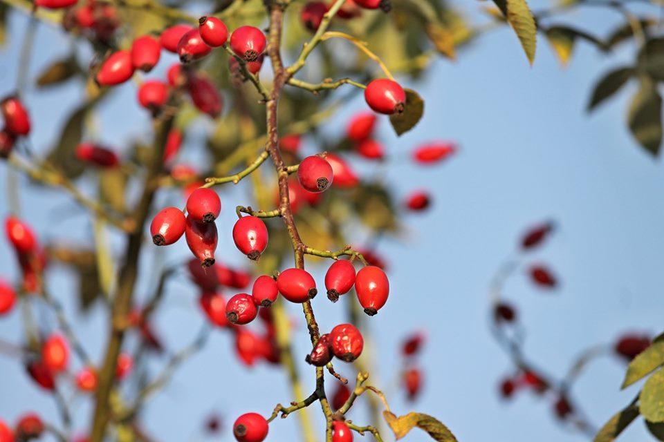 Vannes (56) Atelier herboristerie «Les baies et les fruits sauvages»