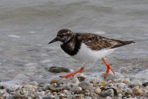 Locquirec (29), les oiseaux hivernant dans la baie de Locquirec