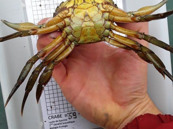 Crabic.bzh : écologie d'un possible site de rencontres en baie de Morlaix
