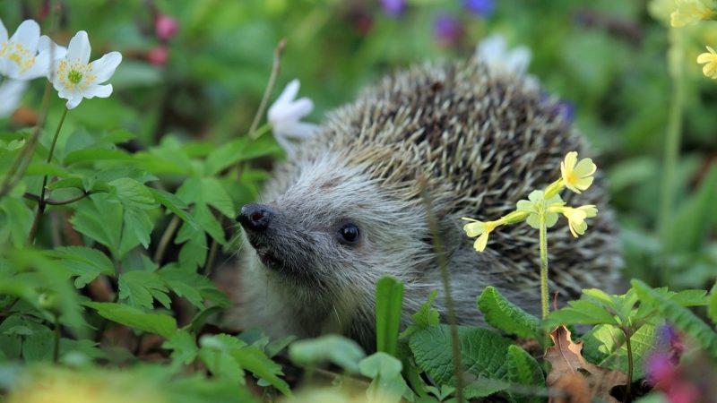 Habitants du Golfe du Morbihan, observez et comptez les écureuils et hérissons dans votre jardin!