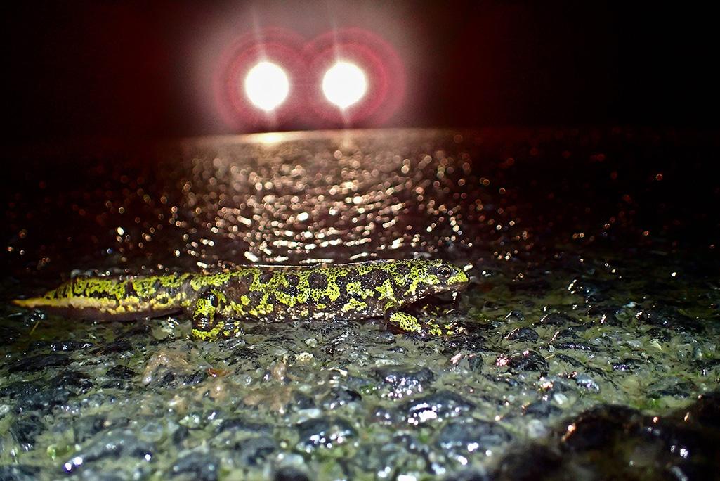 À Lamballe-Armor, une route est fermée 3 mois pour sauver les grenouilles et les tritons